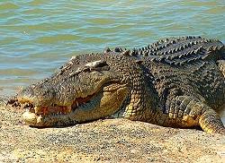 Saltwater.Croc.jpg