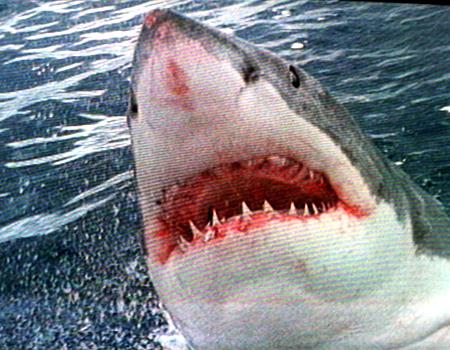 801237-white-pointer-sharks.jpg